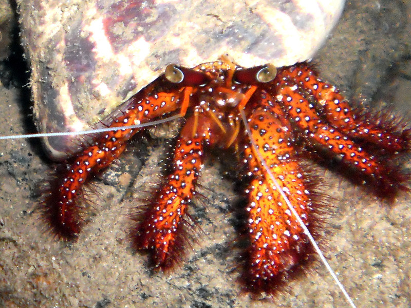 White-Spotted Hermit Crab. See Paul Humann, et al, Reef Creature Identification - Tropical Pacific (2010) at page 162.