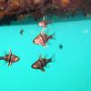 Cardinalfish beneath the floating dock.