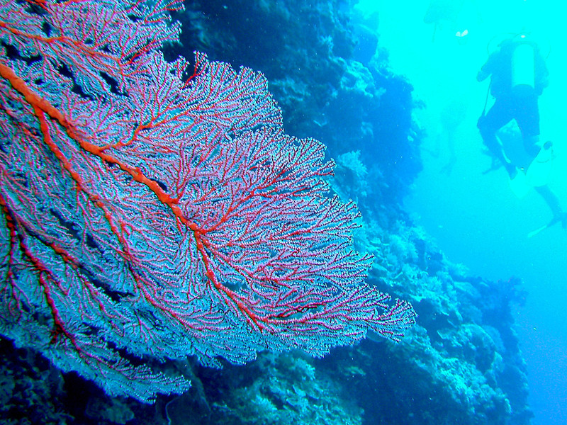 Lace coral growing along a wall.  Divers in background along the wall.
