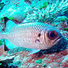 Soldierfish. See Gerald Allen, et al, Reef Fish Identification - Tropical Pacific (2003) at pages 239-244.