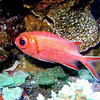 Whitetip Soldierfish.  See Gerald Allen, et al, Reef Fish Identification - Tropical Pacific (2003) at page 239.