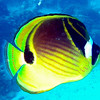 Racoon Butterflyfish.  See Gerald Allen, et al, Reef Fish Identification - Tropical Pacific (2003) at page 21.