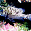 Many-Spotted Sweetlips. See Gerald Allen, et al, Reef Fish Identification - Tropical Pacific (2003) at page 172.