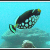 Clown Triggerfish.  Clown Triggerfish.   See Gerald Allen, et al, Reef Fish Identification - Tropical Pacific (2003) at page 404.   The mushroom shaped rock in the background is one of three manta ray cleaning stations at the mouth of the German Channel.