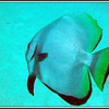 Spadefish. See Gerald Allen, et al, Reef Fish Identification - Tropical Pacific (2003) at page 42.