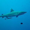 A whitetip shark is missing the top portion of her tail fin. A remora swims under her.