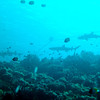 Three reef sharks swim by the boat's mooring line.