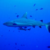 Whitetip Shark missing the top pointed portion of her tailfin.