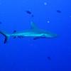 Whitetip Shark with full tailfin.