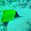 Big Longnose Butteflyfish.