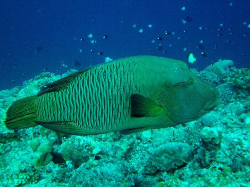 Napoleon Wrasse, a large colorful fish, aka Humphead Wrasse.  Before it, on the right of the photo, swims a Pryamid Butterflyfish.  See Gerald Allen, et al, Reef Fish Identification - Tropical Pacific (2003) at page 193.