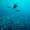 A diver on a safety stop hovers above a large and dense school of Trevally on the Blue Corner.