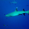White Tip Shark, a species of reef shark.