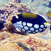 Clown Triggerfish.   See Gerald Allen, et al, Reef Fish Identification - Tropical Pacific (2003) at page 404.