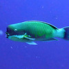 Steephead Parrotfish.   Gerald Allen, et al, Reef Fish Identification - Tropical Pacific (2003) at page 177.