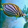Meyer's Butterflyfish