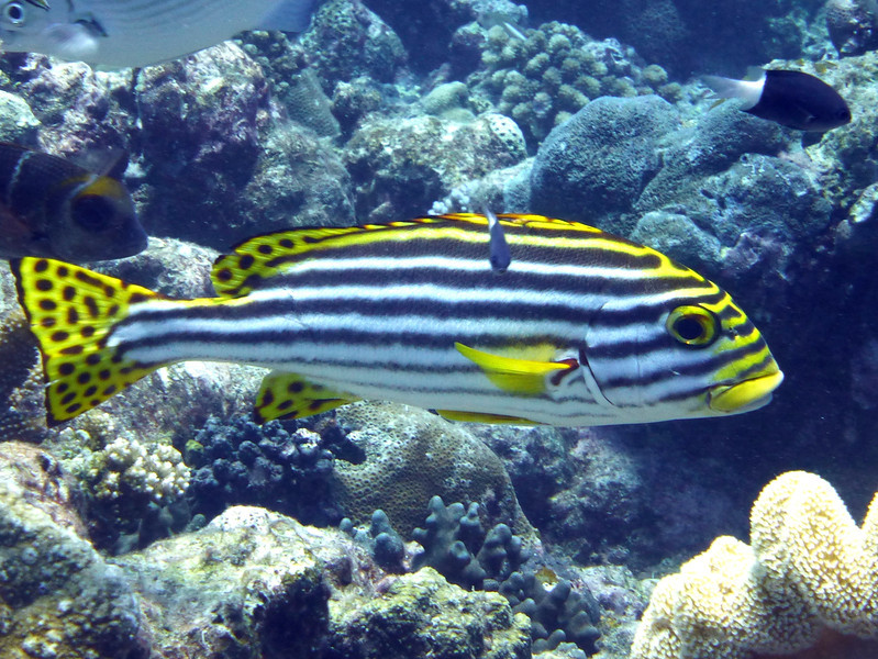 An Oriental Sweetlips.  Gerald Allen, et al, Reef Fish Identification - Tropical Pacific (2003), page 170.