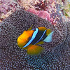 Orange-Finned Anemonefish.  See Gerald Allen, et al, Reef Fish Identification - Tropical Pacific (2003) at page 64.