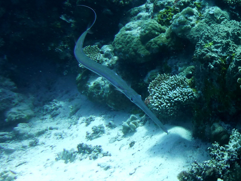Cornetfish. See Paul Humann, et al, Reef Creature Identification - Tropical Pacific (2010) at page 400.