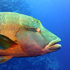 Napoleon Wrasse aka Humphead Wrasse. See Gerald Allen, et al, Reef Fish Identification - Tropical Pacific (2003) at page 193.