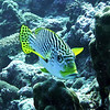 An Oriental Sweetlips.  Notice the lips. Gerald Allen, et al, Reef Fish Identification - Tropical Pacific (2003), page 170.