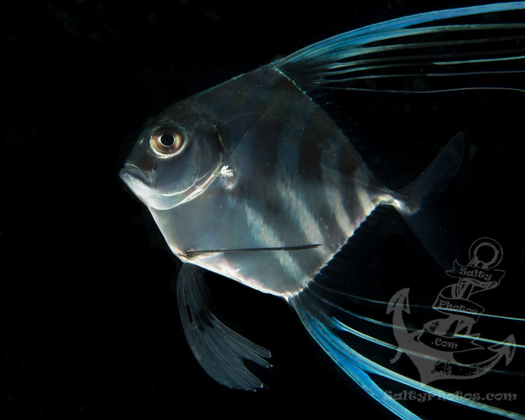 Juvenile Threadfin Jack (Carangoides otrynter)