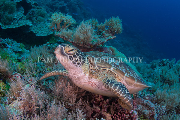 Turtle Posing on Coral