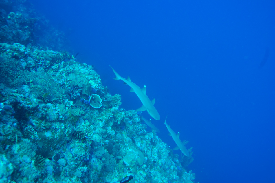 White tips sharks patrol the edge of Palau's Blue Corner reef before it drops away into the depths