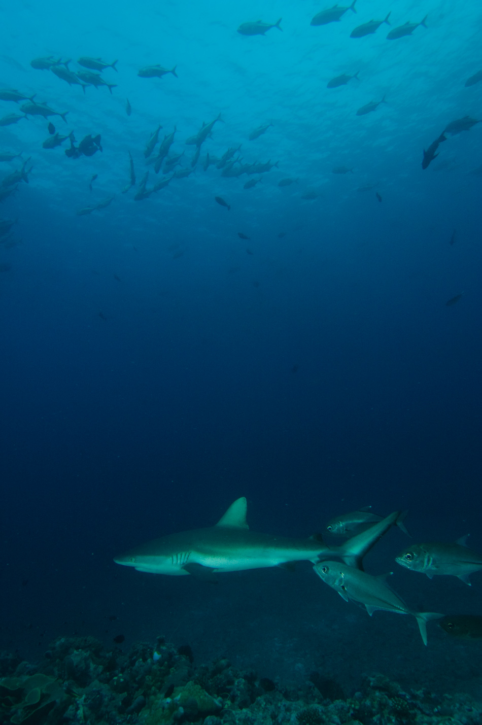 White tips sharks patrol the edge of Palau's Blue Corner reef