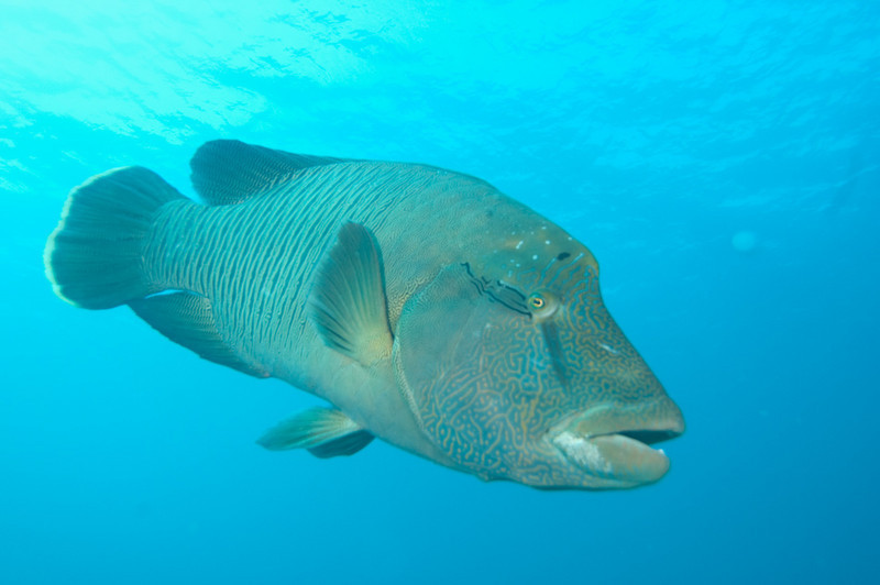 A Napoleon wrasse gets up close at Blue Corner, Palau