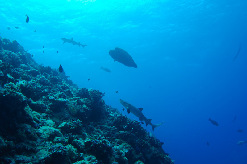 The silhouettes of white tip sharks and a Napoleon wrasse, Palau