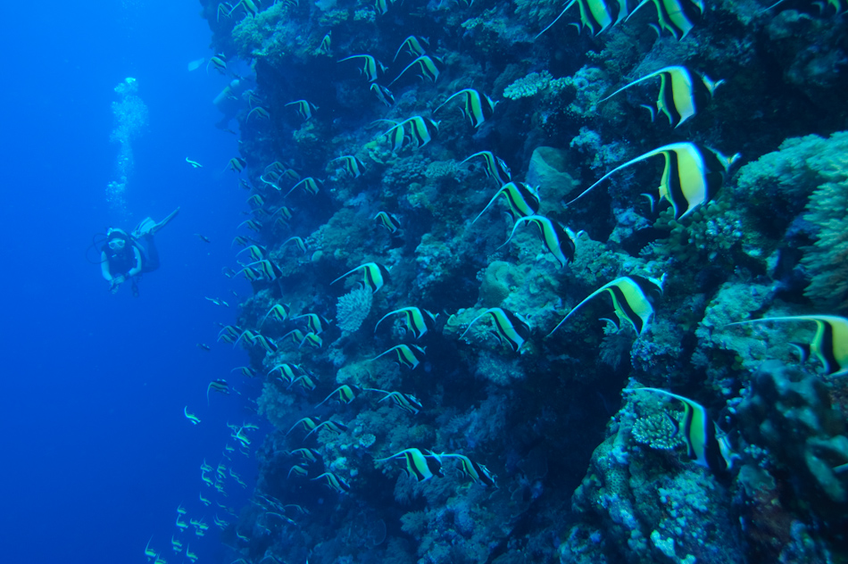 A huge school of bannerfish skates across the coral reef at Palau's Blue Holes as a diver looks on