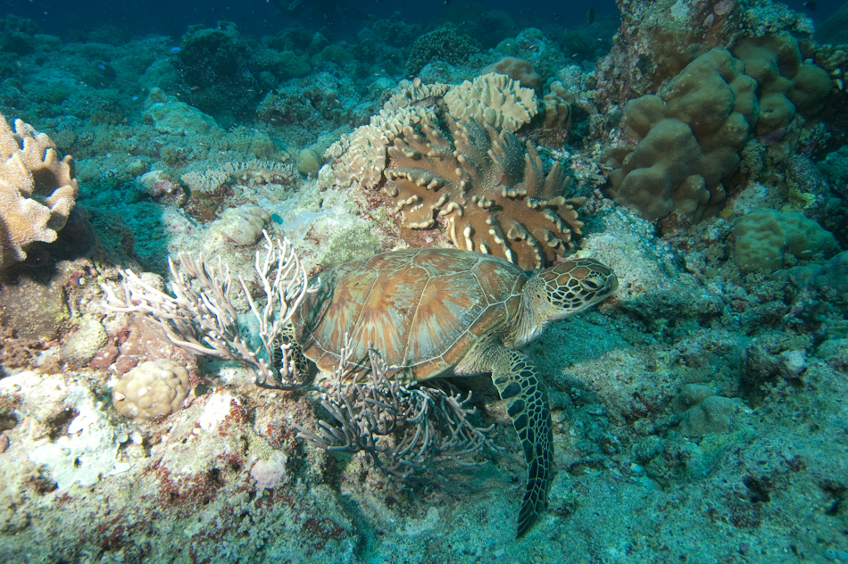 A turtle at Blue Corner, Palau
