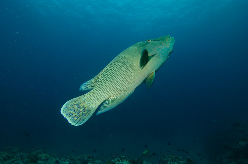 A Napoleon wrasse makes its exit at Blue Corner, Palau