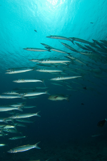 Barracuda at Blue Corner, Palau