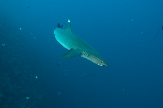 A white tip shark turns away at Blue Corner, Palau