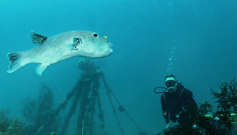 A long but skinny Star Puffer fish being led by a small pilot fish trying to catch any left over nibbles.