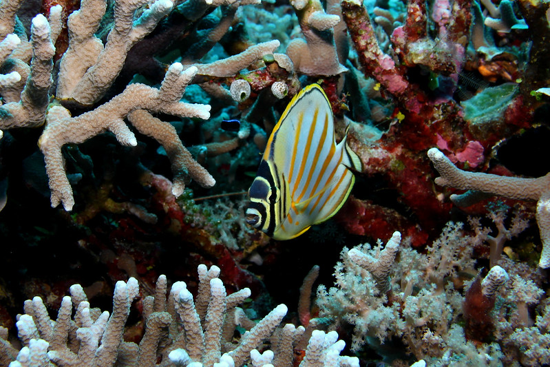 The Pacific has some beautifully colored fish with unique patterns like this Ornate Butterflyfish.