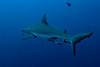 A big fat Gray Reef Shark with Sharksuckers near
