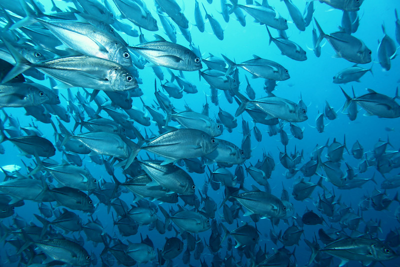 The schools of fish surrounded us, such as these Bigeye Trevally (Jacks).
