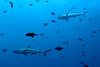 At the Blue Corner dive site, it was like a rush hour for sharks and Black Triggerfish (Durgon).
