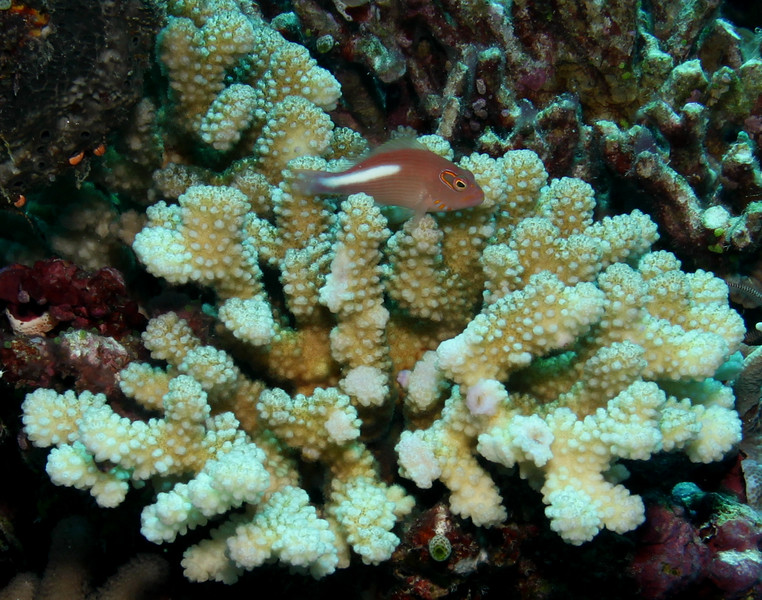 The Arc-Eye Hawkfish jets around on it's fins perching atop this hard coral.