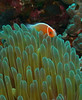 Pink Anemonefish with it's cute white stripe running from between it's eyes all the way down to it's tail.
