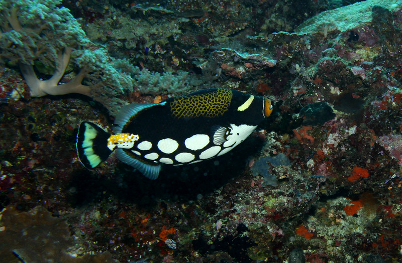The uniquely colored Clown Triggerfish