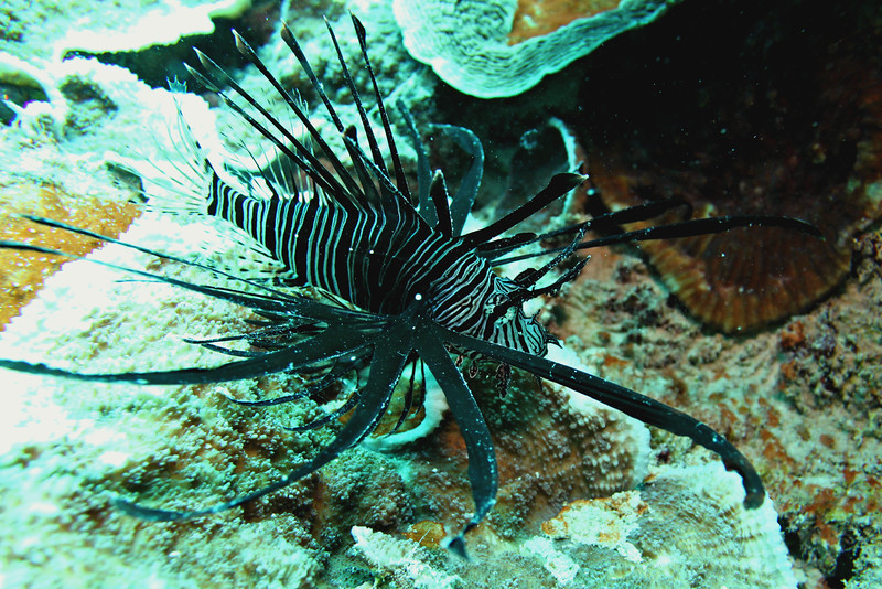 A juvenile Common Lionfish with it's feather-like fins and poisonous dorsal spines.