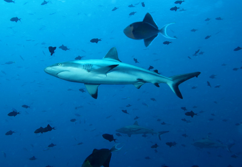 The Gray Reef sharks came in large groups, you couldn't keep track of them all!