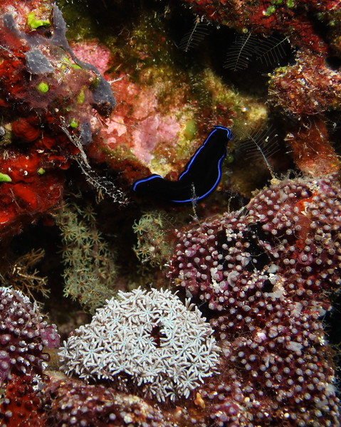 A black and blue nudibranch.