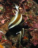 Pair of Pennant Bannerfish