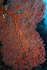 Large and colorful red sea fan
