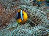 Orange-finned Anemonefish